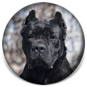"About Time's Fire When Ready, ""Bang"", Black Cane Corso Female Puppy"