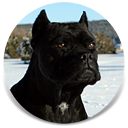 Bioynic's Chingalana, Black Female Cane Corso, Import Sire