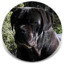 Rothorm JY Dream Imhotep, Black Male Cane Corso Import