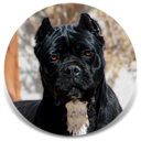 About Time's ba Kepi, Black Female Cane Corso