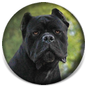 About Time's Mayhem, bred from our Chaos line, Black Male Cane Corso