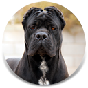 Rothorm JY Dream Quantum of Solace, Black Male Cane Corso Import