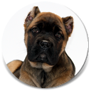 About Time's Red Tape, Red Fawn Cane Corso Male Puppy