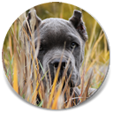"About Time's Diamonds are Forever, ""Shiny"", Blue Brindle Female Cane Corso"