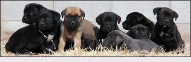 About Time Cane Corso Puppy Purchase Process