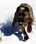 Demi, Blue brindle Cane Corso playing in the snow.