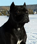 Chingalana, our first Cane Corso.