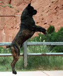 Amon, Import Cane Corso from Rothorm Kennels with Dyrium Pedigree.