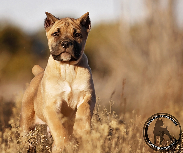 About Time Cane Corso Italiano - Genuine Versality!