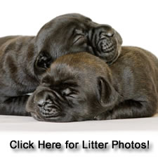 About Time Cane Corso Puppies for Sale