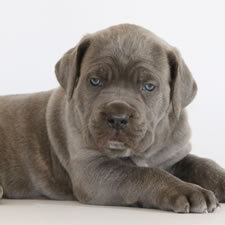 About Time's Mayhem, son of Champion Rothorm JY Dream Quantum of Solace, Black Cane Corso Male