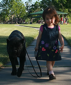 Cane Corso Security System, Protecting Your Family