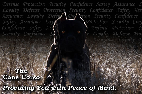 Cane Corso Security, Providing You With Peace of Mind