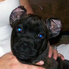 Cane Corso with bad ear crop, wrong shape