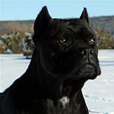 Cane Corso with cropped ears