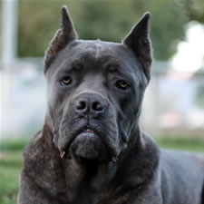 Cane Corso with bad ear crop, too long, boxer crop, dane crop, doberman crop