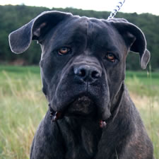 Cane Corso with uncropped airplane ears