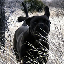 Cane Corso uncropped ears
