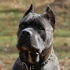 Grey Cane Corso with cropped ears