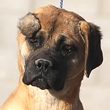 Cane Corso with uncropped ear injury