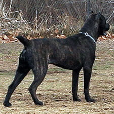 Cane Corso Tail Dock