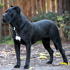Jeff, Adopted Cane Corso Rescue