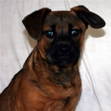 Tank, Adopted Bull Mastiff Cross Rescue