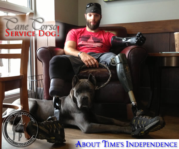 About Time's Independence, Cane Corso Service Dog for Andrew Botrell, Triple Amputee Veteran